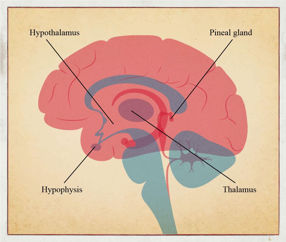 pineal hypothalamus hypophysis